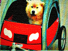 Husky in trailer bicycle dog carrier